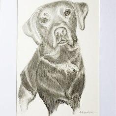 pencile-drawing-pet-portraitlblack-labrador